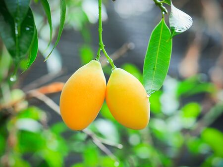 Fresh ripe marian plum or plango hanging on tree with freshness vibes background,Thai fruit. Reklamní fotografie