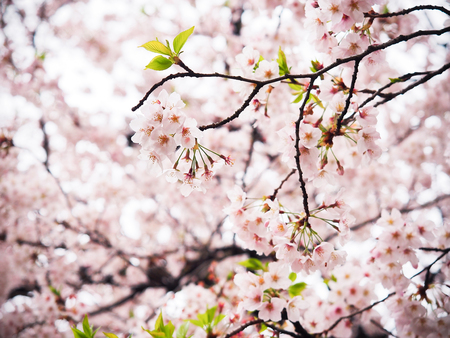 japanese sakura flower or cherry blossom full bloom in spring season. Reklamní fotografie - 98338810