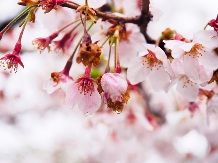 Japanese sakura flower or cherry blossom with water drop in rainy day full bloom in spring season.
