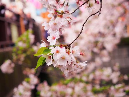 Japanese sakura flower or cherry blossom full bloom in spring season.
