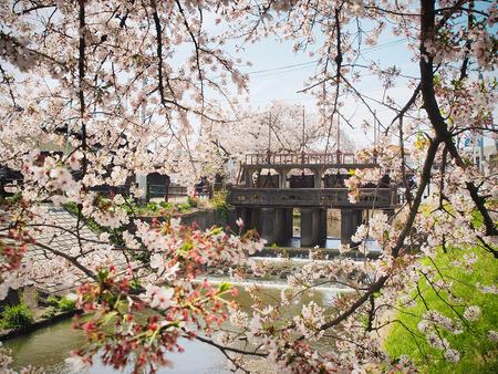 japan sakura flower or cherry blossom full bloom in spring season near the canal