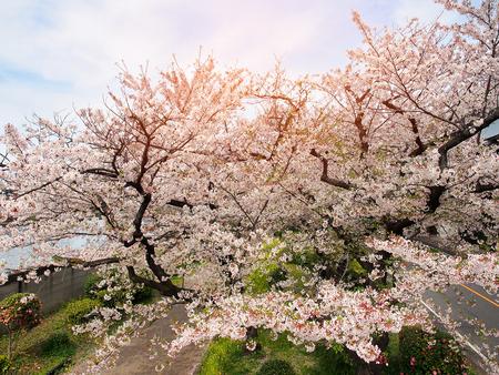 Full bloom white sakura flower or cherry blossom in spring season.