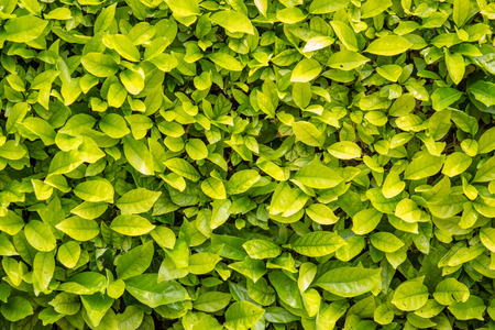 baclground: Green leaves wall baclground