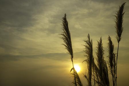 Silhouette grass tree with sunset Stok Fotoğraf