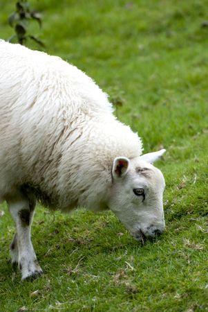 Close up van schapen korte groen gras eten