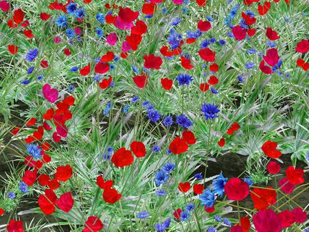 wild flower meadow with poppies and cornflowers photo
