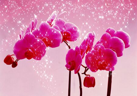 two beautiful bright pink orchids on pink background