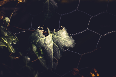 Low key green ivy leaf and wire fence