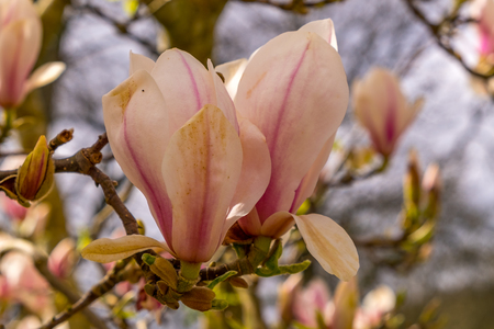 Beautiful magnolia flowers. Blooming magnolia tree in the spring. Selective focus