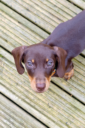 Black dachshund puppy on wooden deck looking up at camera Stock Photo