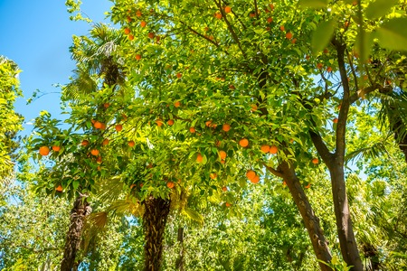 Branches with the fruits of the orange trees, Sevilla, Spain