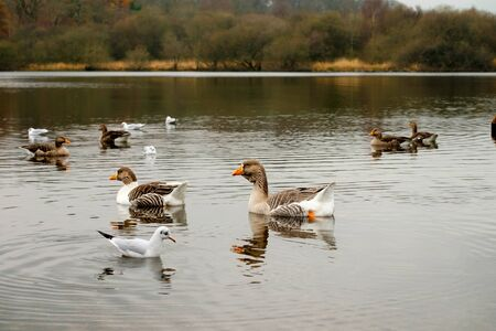 Geese swimming on Derwentwater Lake District in Autumn