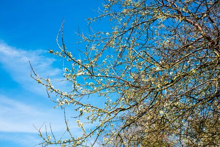 tree branches in springtime with beautiful blue sky Banque d'images - 144168957