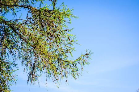 tree branches in springtime with beautiful blue sky UK Banque d'images - 144169705
