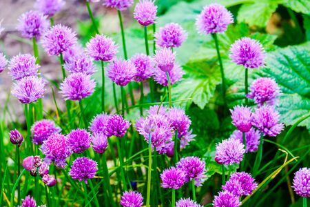 group of Chive Purple flowers in a garden on a sunny day