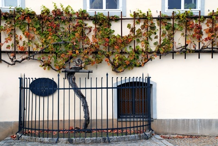 holidays vacancy: 500 years old grapevine Maribor - Slovenia Stock Photo