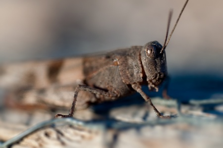 half body: Brown cricket close up half body side view Stock Photo
