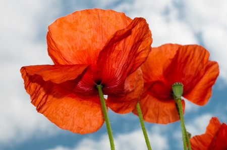 poppy seeds: Two red poppy sight from below horizontal background sky