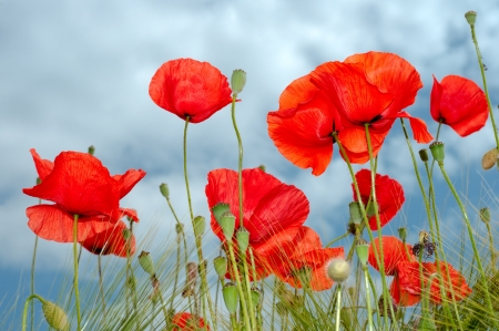 florescence: Red poppy sight from below horizontal Stock Photo
