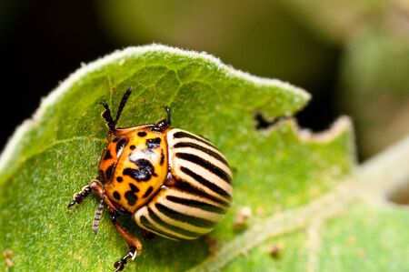 sripes: Colorado Potato Beetle on eggplant leaf upper view