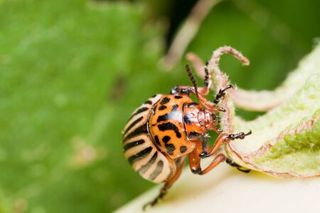 Colorado Potato Beetle on eggplant head close up photo