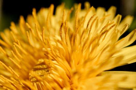 pistil: Dandelion flower growing focus on pistil