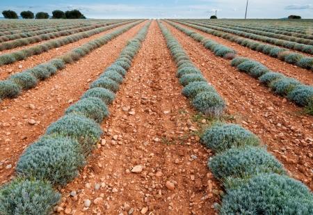 simetric: Simetric rows of lavander on Lavander trail near Valensole in Provence France Stock Photo