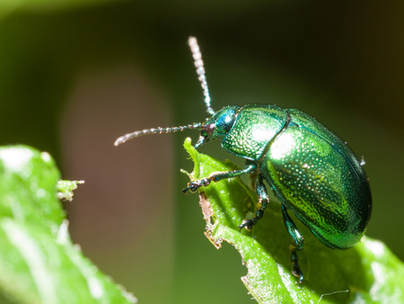 Mint Leaf Beetle - Chrysolina herbacea - Chrysomela menthastri
