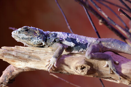 survive: Lizard cordylidae - conlyhis warreni changing skin resting on wood horizontal
