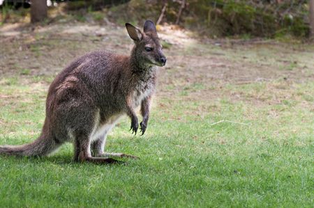 necked: Red necked wallaby - Macropus rufogriseus Stock Photo