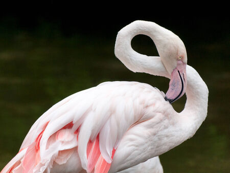 Greater Flamingo - Phoenicopterus roseus closeup bended neck photo