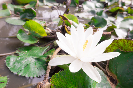 white lotus: white lotus