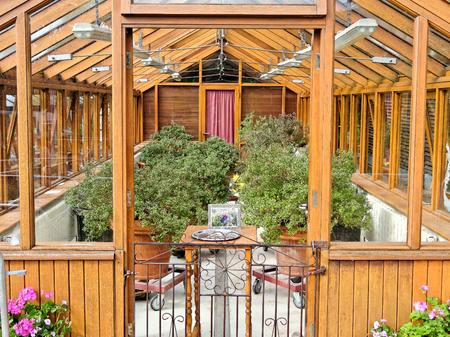 The sacred Tulasi tree (Ocimum Sanctum) in greenhouse.