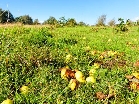 fell: Wild apples fell on lush grass in Sutton Park, UK. Stock Photo