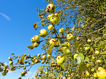kneecap: Wild apples in Sutton Park, UK. Stock Photo