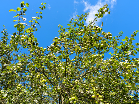kneecap: Wild apples on a background of blue sky in Sutton Park.