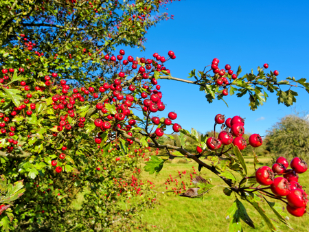 Red hawthorn fruit in the sun of early autumn in Sutton Park, UK.
