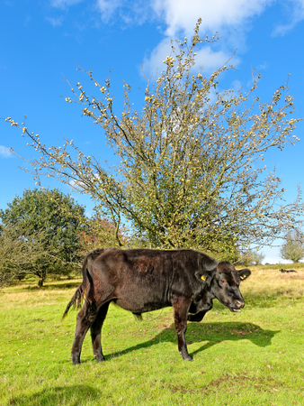 Bull against a blue sky and wild apple tree in Sutton Park, UK.