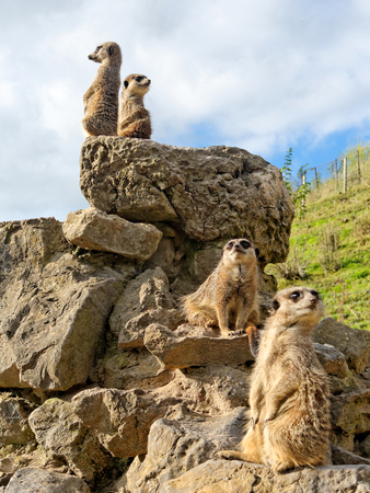 Four meerkats on the stone.
