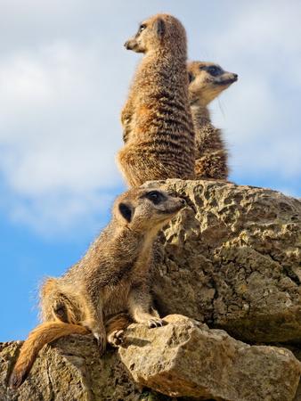 Three meerkats on guard. Stock Photo