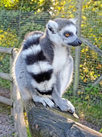 ring tailed: Lemur Ring Tailed. Stock Photo
