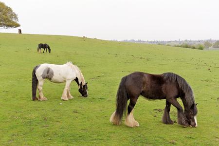 Horses graze in the pasture. Stock Photo
