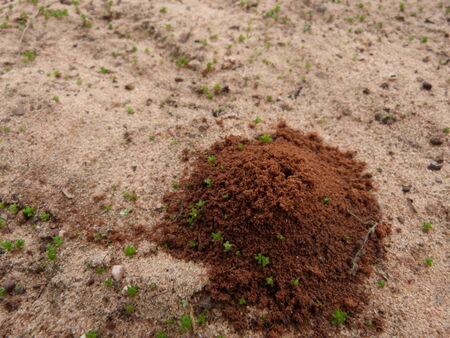 anthill: Anthill Stock Photo