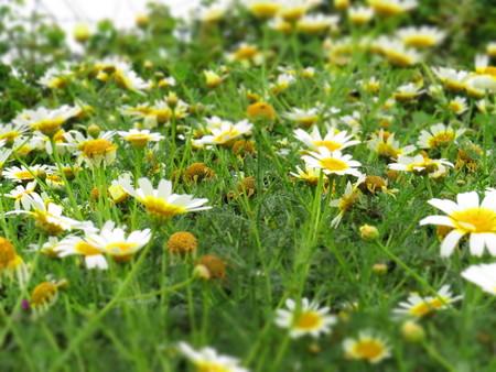 coronarium: Chrysanthemum coronarium