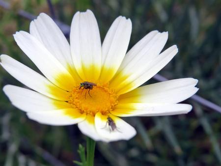 coronarium: Chrysanthemum coronarium with insect