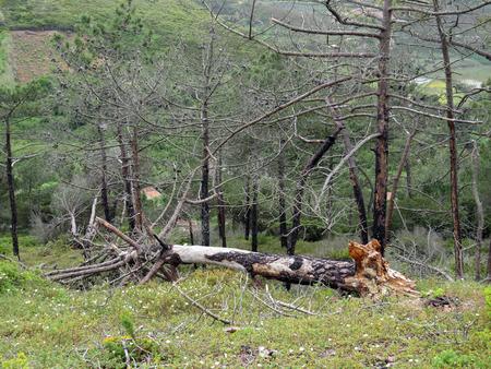 arbre mort: Tomb� arbre mort