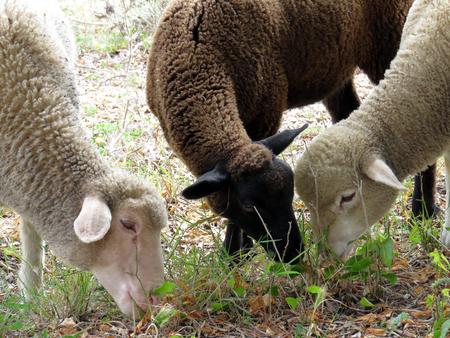 ruminant: Sheeps eating