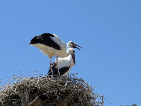 animalia: two ciconia Stock Photo