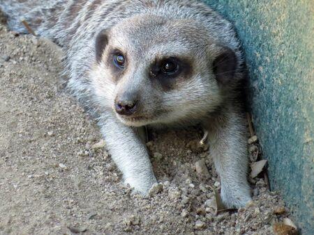 suricate: suricate resting Stock Photo
