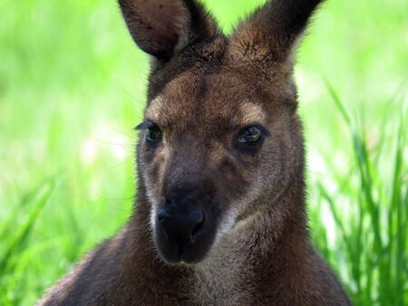 wallaby: Red-necked wallaby Stock Photo